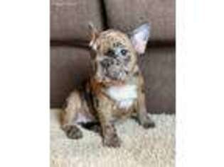 French Bulldog Puppy for sale in Washington, DC, USA