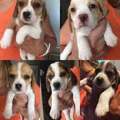 View Ad Beagle Puppy For Sale Near Colorado Fort Collins Usa Adn