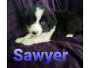 Australian Shepherd Puppy for sale in Corsicana, TX, USA