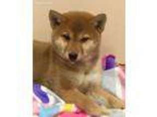 View Ad Shiba Inu Puppy For Sale Minnesota Minneapolis Usa