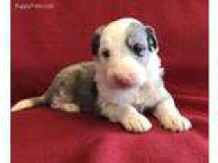 Border Collie Puppy for sale in Saint Louis, MO, USA