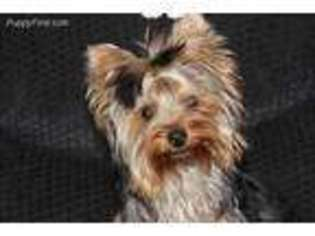 View Ad Yorkshire Terrier Puppy For Sale Michigan Crystal Usa