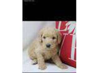 Labradoodle Puppy for sale in Mesa, AZ, USA