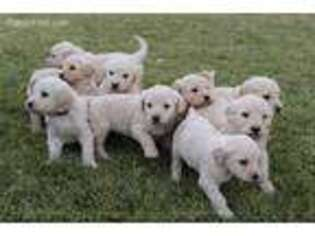 Goldendoodle Puppy for sale in Syracuse, UT, USA