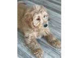 Goldendoodle Puppy for sale in Orem, UT, USA