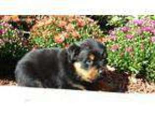 View Ad Rottweiler Puppy For Sale New York Swan Lake Usa