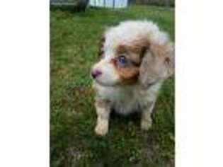 Australian Shepherd Puppy for sale in Niangua, MO, USA