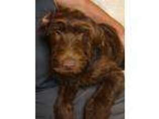 Labradoodle Puppy for sale in Spokane Valley, WA, USA