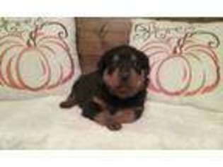 View Ad Rottweiler Puppy For Sale Pennsylvania Uniontown Usa