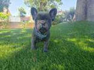 French Bulldog Puppy for sale in Ontario, CA, USA