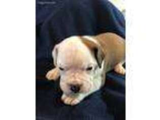 Valley Bulldog Puppy for sale in Plymouth, MA, USA