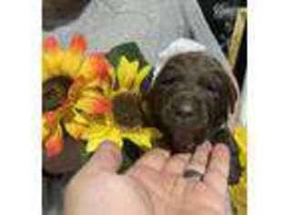 Labrador Retriever Puppy for sale in Roanoke, VA, USA