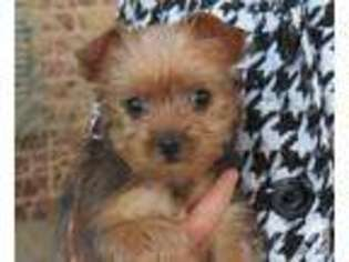View Ad: Yorkshire Terrier Puppy for Sale near Kentucky, HEBRON, USA