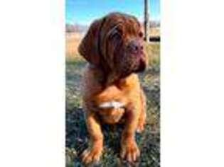 American Bull Dogue De Bordeaux Puppy for sale in Kokomo, IN, USA