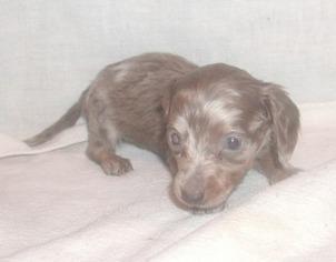 View Ad: Dachshund Puppy for Sale near Michigan, Edmore, USA