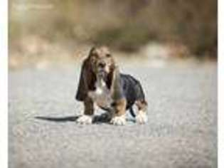 Basset Hound Puppy for sale in Barre, MA, USA
