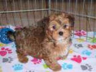Mutt Puppy for sale in Tucson, AZ, USA