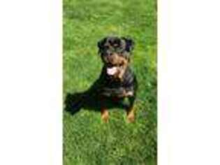 Rottweiler Puppy for sale in Yorkville, IL, USA