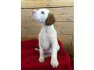 English Setter Puppy for sale in Kaysville, UT, USA