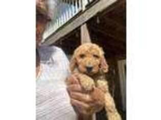 Goldendoodle Puppy for sale in Mcdonough, GA, USA