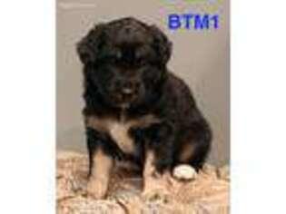 Australian Shepherd Puppy for sale in Stacy, MN, USA