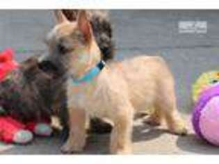 Cairn Terrier Puppy for sale in Unknown, , USA