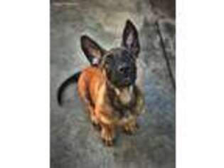 Belgian Malinois Puppy for sale in Long Beach, CA, USA