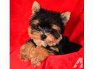Puppyfinder com: Yorkshire Terrier puppies for sale and