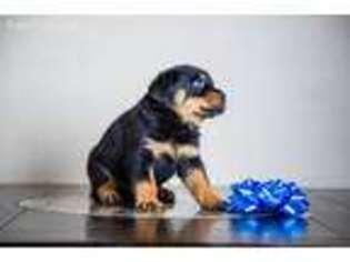 Puppyfinder com: Rottweiler puppies puppies for sale near me
