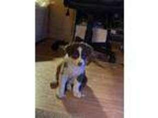 Australian Shepherd Puppy for sale in Sugar Grove, PA, USA