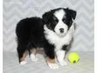 Miniature Australian Shepherd Puppy for sale in Edmond, OK, USA