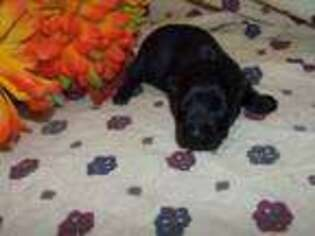 Scottish Terrier Puppy for sale in Madison, SD, USA