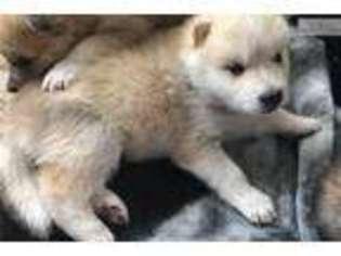 Puppyfinder com: Wolf Hybrid puppies for sale and Wolf