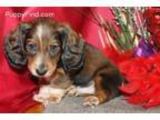 Dachshund Puppies For Sale In Mo