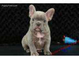 View Ad French Bulldog Puppy For Sale North Carolina Hickory Usa