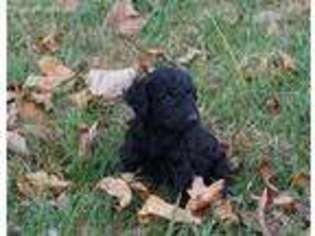 Labradoodle Puppy for sale in Huntsville, AL, USA