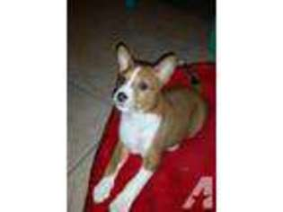 View Ad Basenji Puppy For Sale North Carolina Raleigh Usa