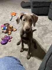 Labrador Retriever Puppy for sale in Blaine, MN, USA