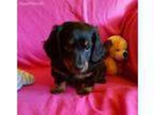 View Ad Dachshund Puppy For Sale Minnesota Glencoe Usa