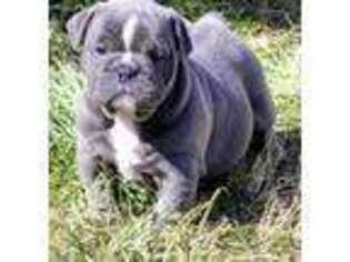 Bulldog Puppy for sale in Albuquerque, NM, USA