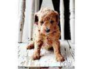 Mutt Puppy for sale in Hallock, MN, USA