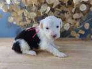 Old English Sheepdog Puppy for sale in Caseville, MI, USA