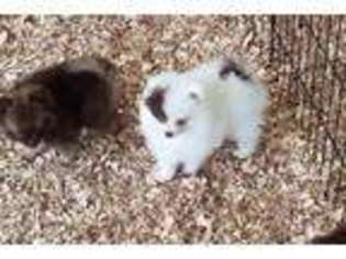 Puppyfindercom Pomeranian Puppies For Sale Near Me In Cookeville