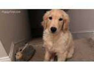 View Ad Golden Retriever Puppy For Sale New Hampshire Dover Usa