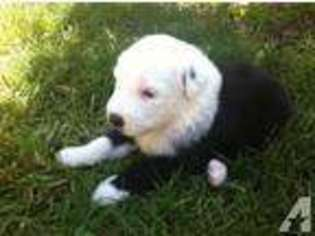 View Ad: Old English Sheepdog Puppy for Sale, California