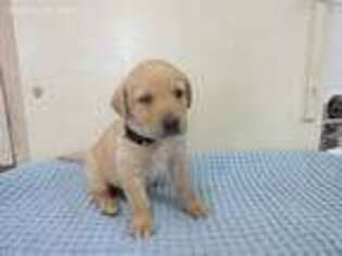 Labrador Retriever Puppy for sale in Athens, WI, USA