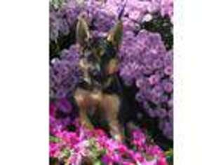 German Shepherd Dog Puppy for sale in Millersburg, IN, USA