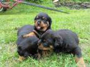 View Ad Rottweiler Puppy For Sale New York Marathon Usa