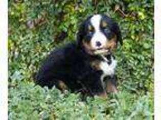 Puppyfinder com: Bernese Mountain Dog puppies puppies for