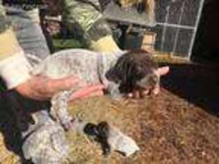 German Shorthaired Pointer Puppy for sale in Lauderdale, MS, USA